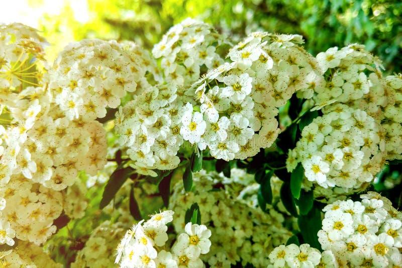 White Viburnum opulus Roseum blooming shrub ornamental garden plant known as Sterile or Snowball royalty free stock photos