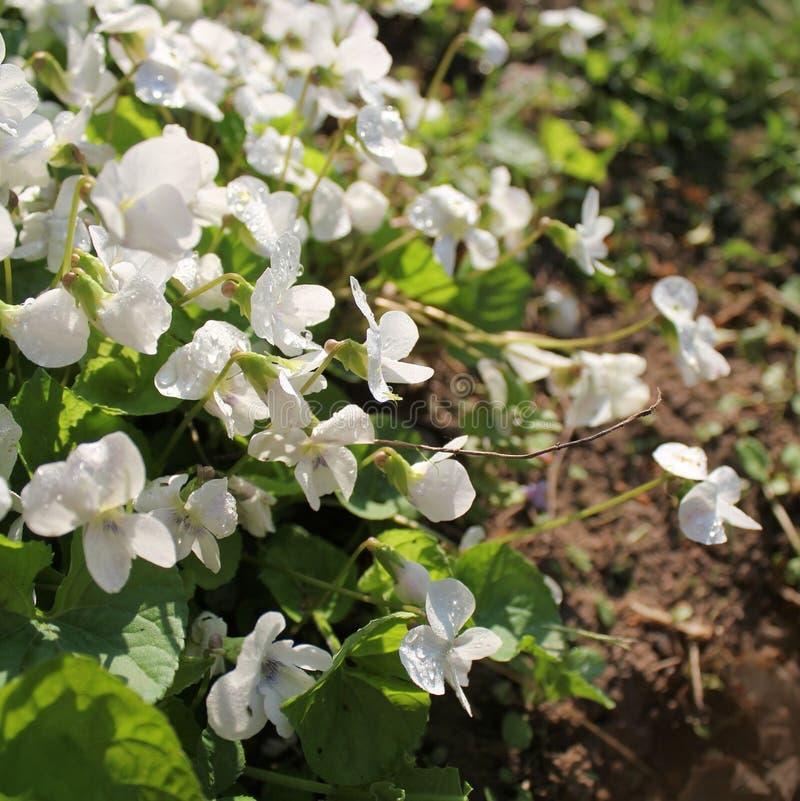 white viola odorata stock photos