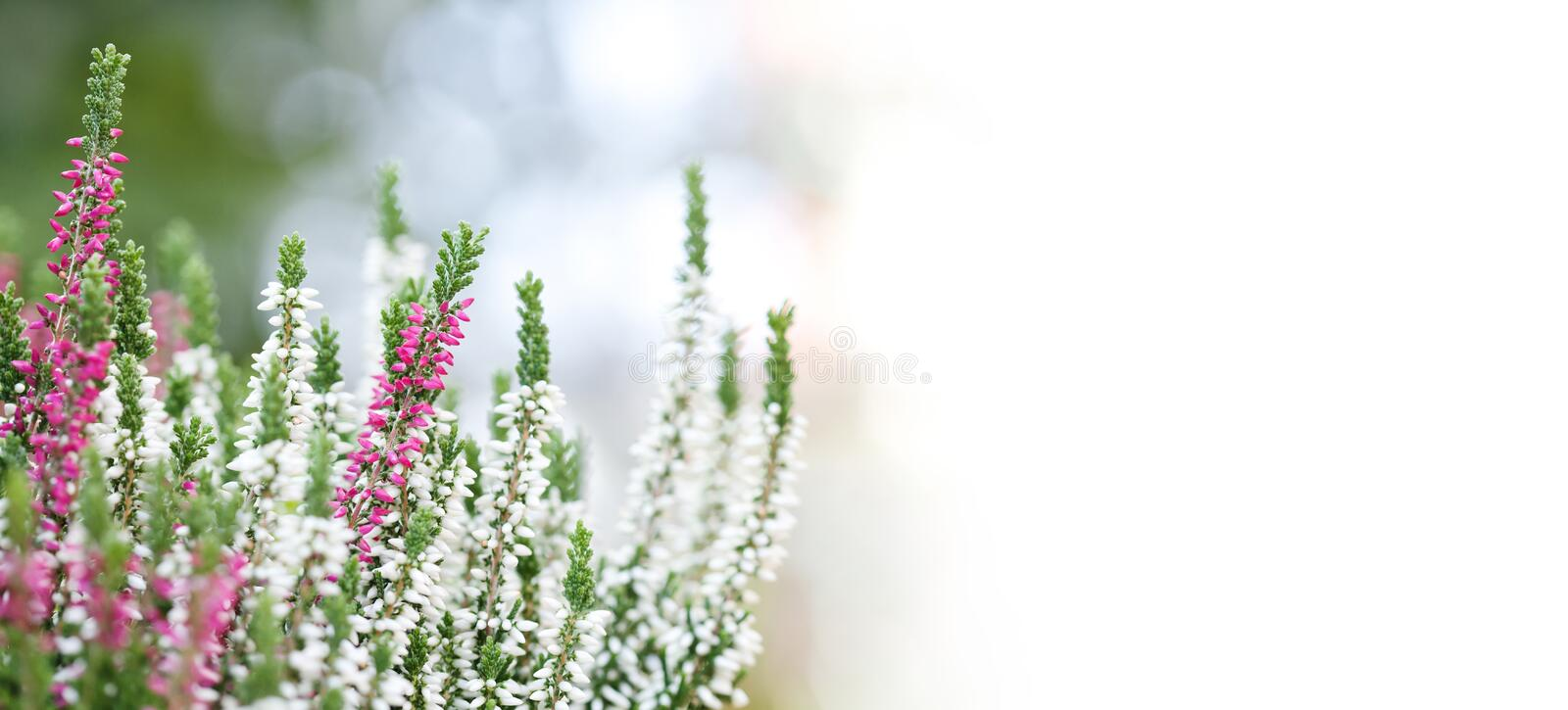 White violet Heather flowers field Calluna vulgaris. Small pink lilac petal plants, shallow depth of field. Copy space.  royalty free stock photos