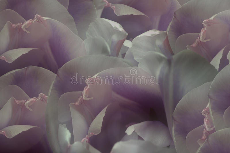 White-violet-pink tulips flowers. Macro. Closeup. flower background. For design. Flower composition. vector illustration