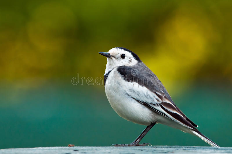 Download White Wagtail Stock Image - Image: 22672781