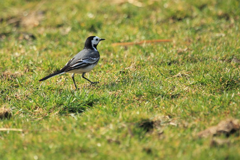 Download White Wagtail Royalty Free Stock Photos - Image: 24045848