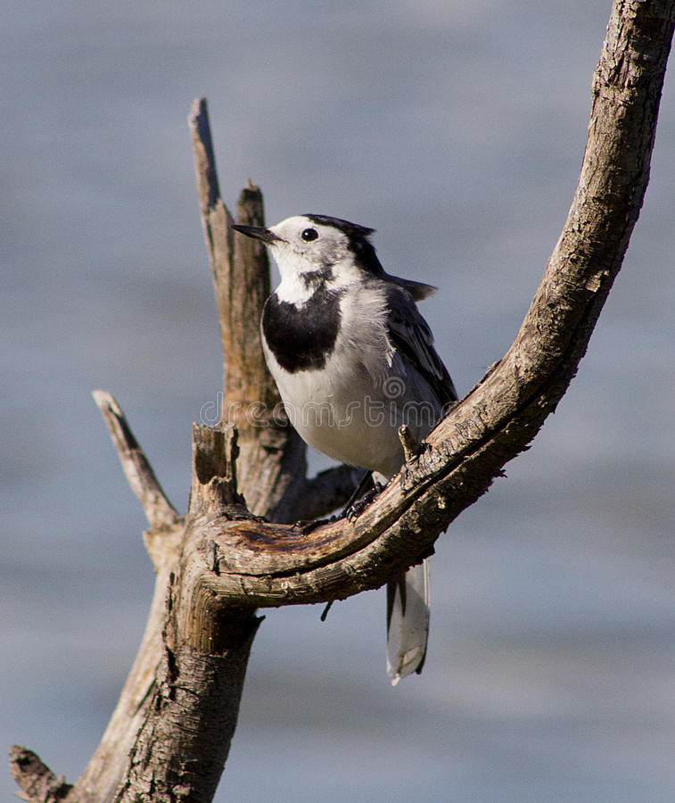 Download White wagtail stock image. Image of branch, wagtail, bird - 24317171