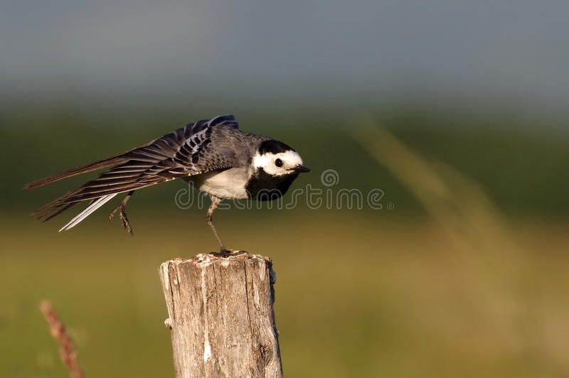 Download White Wagtail stock image. Image of river, biology, motacillidae - 25365957