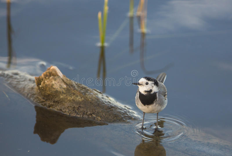 Download White Wagtail stock image. Image of details, detail, aiguamolls - 29016323