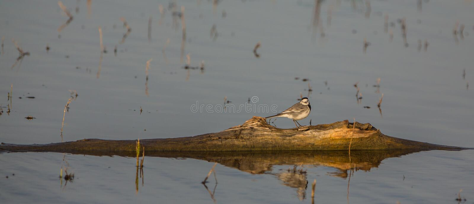 Download White Wagtail stock image. Image of branch, natural, colors - 29016347