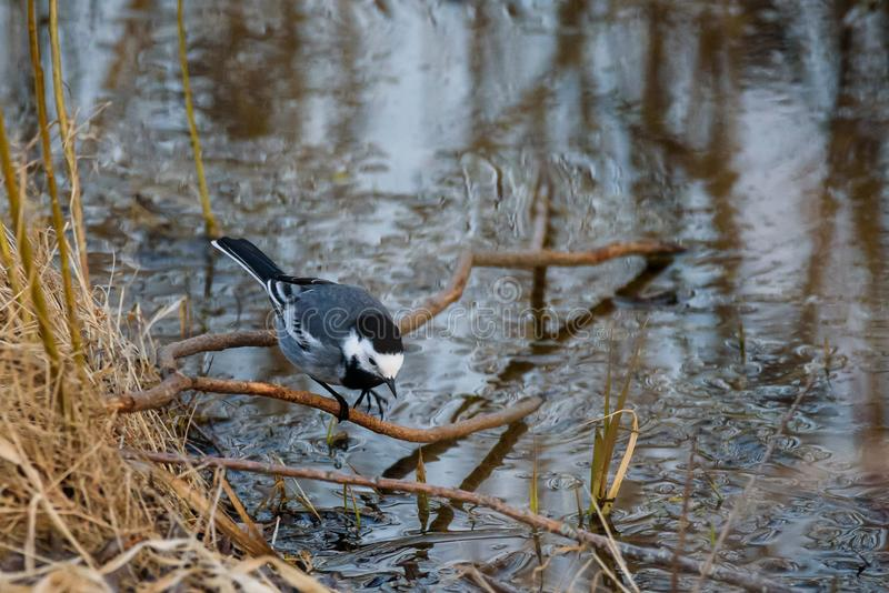 White wagtail bird Motacilla alba on branch of tree. Above water at lake stock images