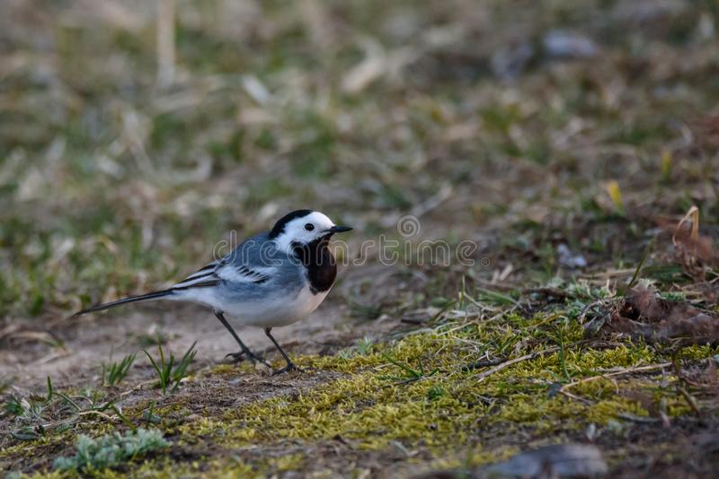 White wagtail bird Motacilla alba on grass near lake. One of the first white wagtails in spring season royalty free stock photography