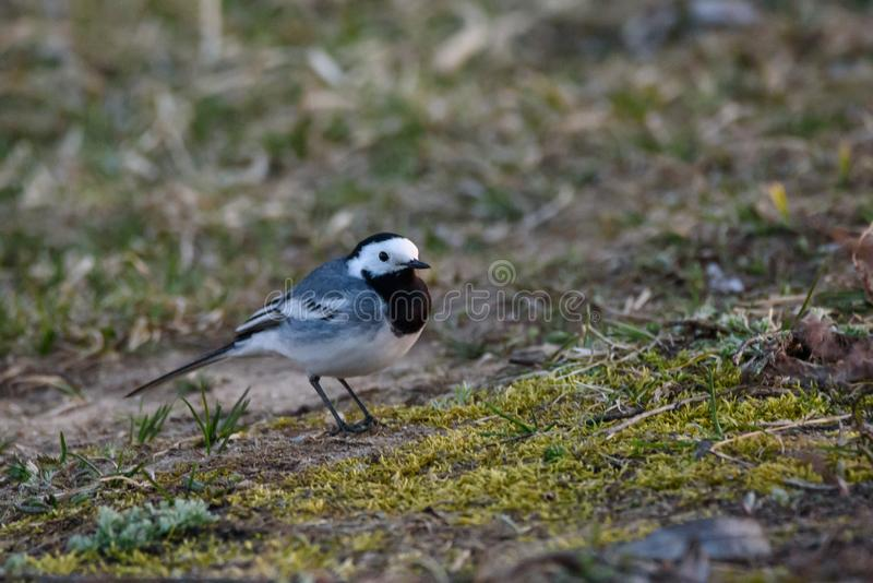 White wagtail bird Motacilla alba on grass. First white wagtails arrived, during Spring season royalty free stock photo