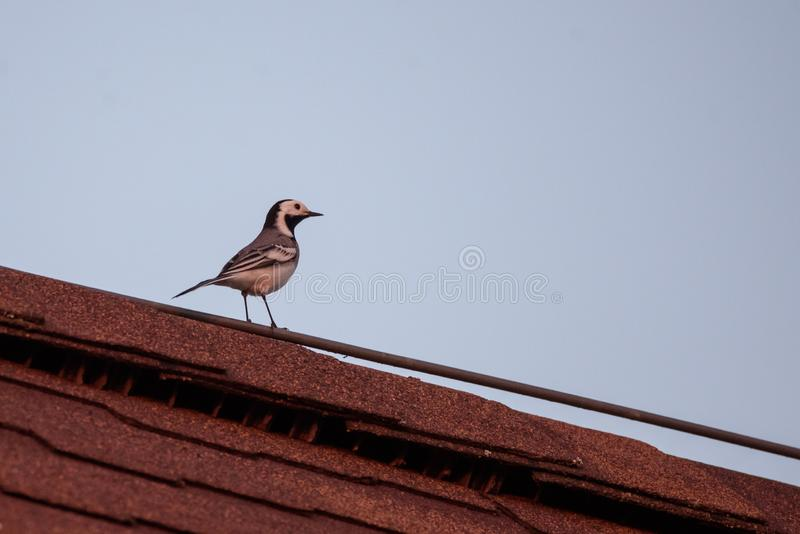 White wagtail bird Motacilla alba on red rooftop. Spring season royalty free stock photos