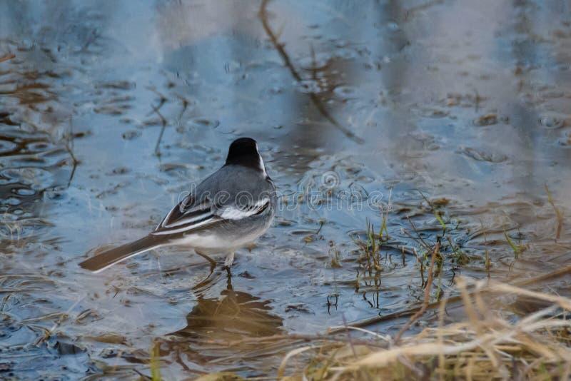 White wagtail bird Motacilla alba in water near lake. Spring season stock image