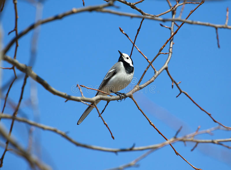 White wagtail bird sits on tree branch in spring. White wagtail bird sits on tree branch and sings over cloudless blue sky in spring stock images