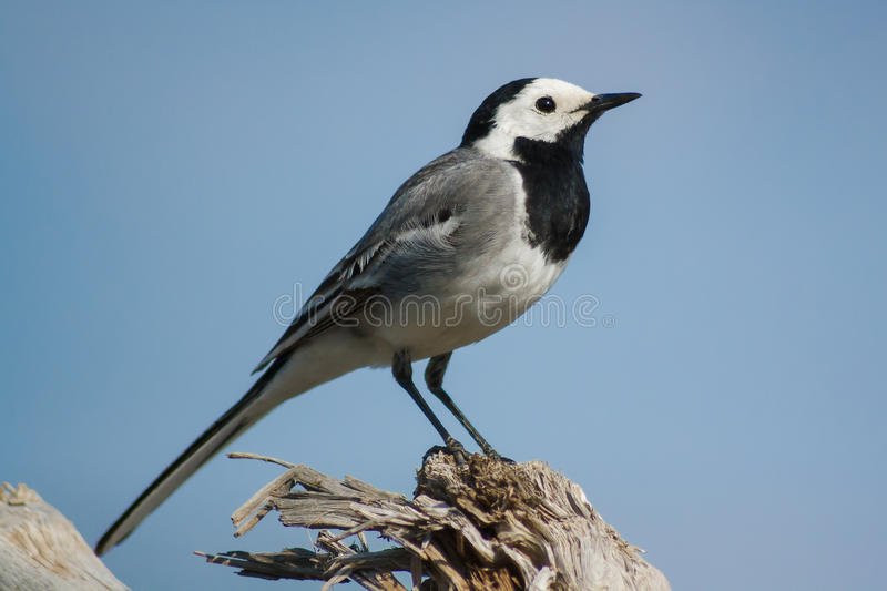 White wagtail bird stay close up at sunny day. White wagtail bird stay close up royalty free stock images