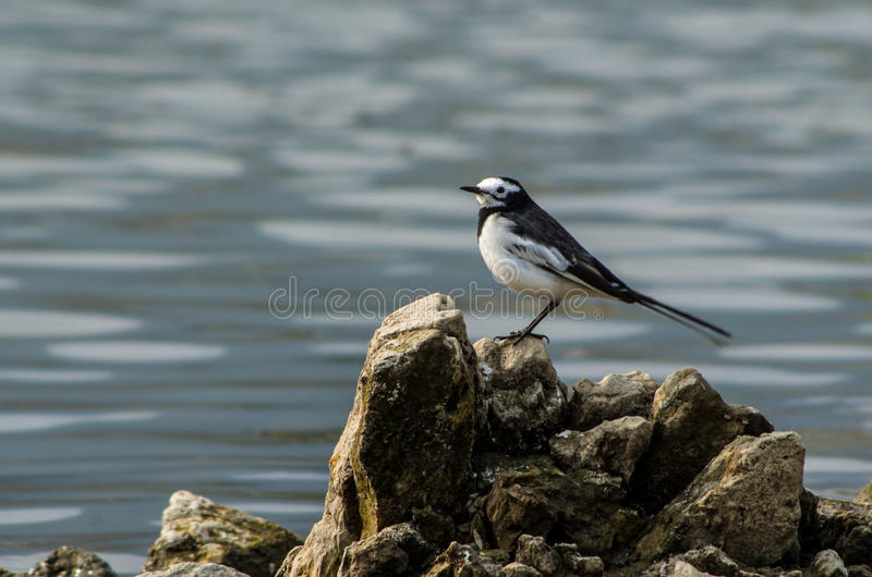 White Wagtail. A white wagtail bird at Taudaha lake, Nepal royalty free stock photos