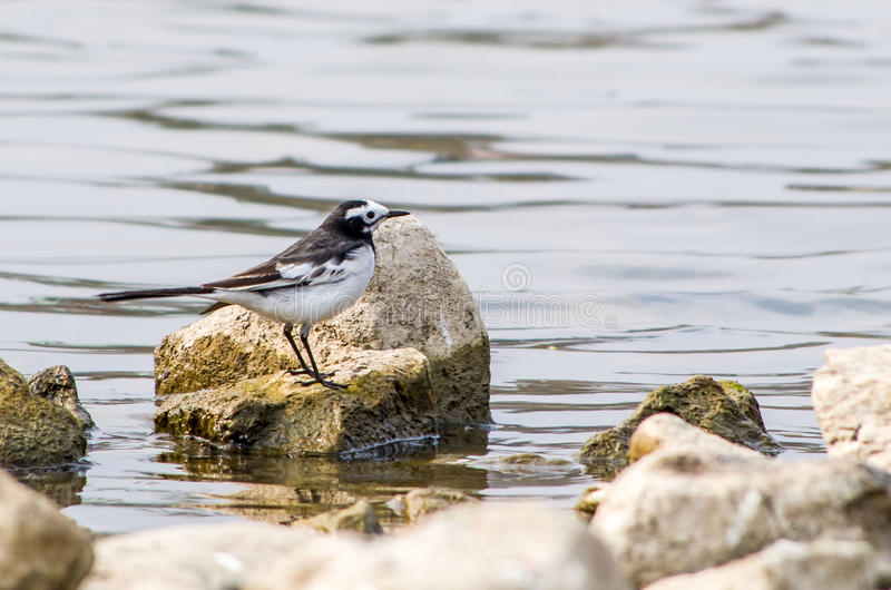 White Wagtail. A white wagtail bird at Taudaha lake, Nepal royalty free stock photo