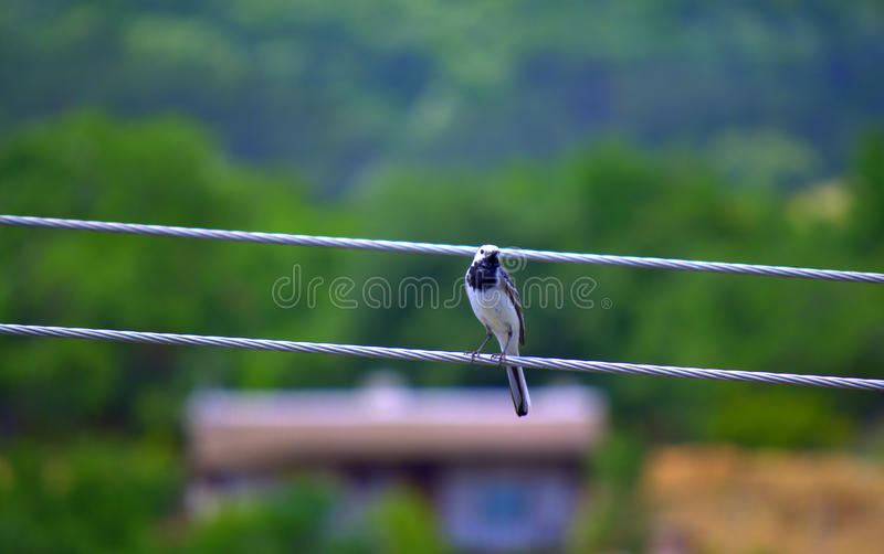White wagtail bird on wire stock photo