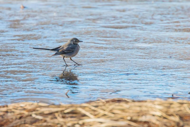 White Wagtail, Cute little bird Motacilla alba on ice, frozen pond winter royalty free stock images