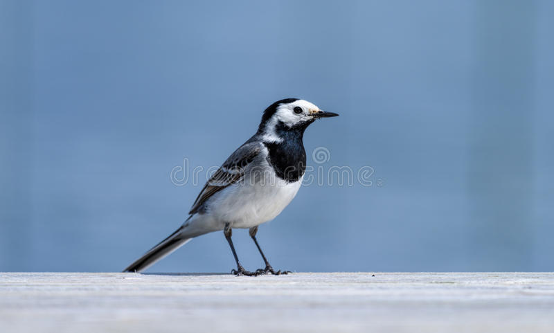 A white wagtail at the edge of the jetty by a lake stock photo