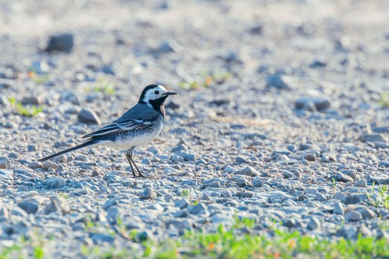 White Wagtail Motacilla alba Cute Little Bird royalty free stock photos