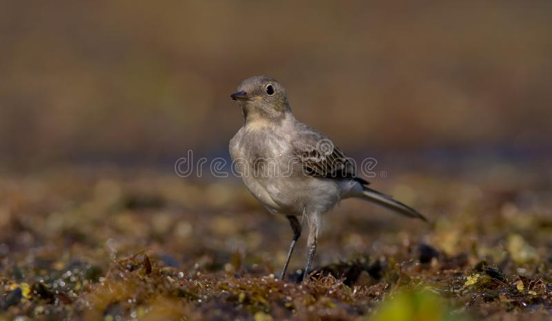 The White Wagtail - Motacilla alba - juvenile bird. At a wetland - Vilnius County, Lithuania royalty free stock images