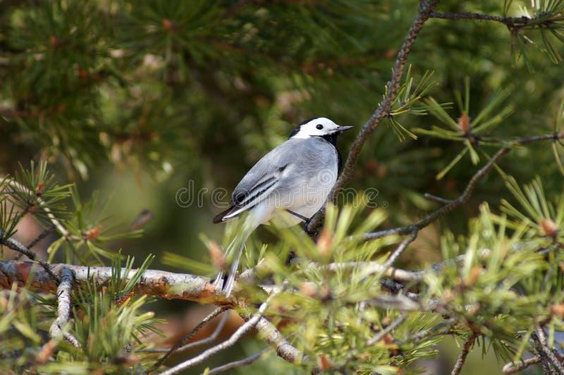 White Wagtail (motacilla Alba) On A Pine. Royalty Free Stock Photos