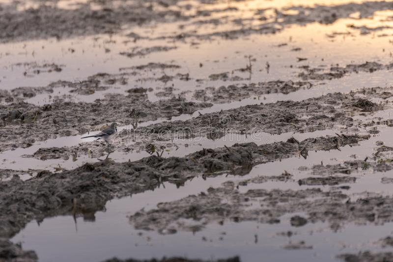 White wagtail Motacilla Alba in a rice field partially flooded in the natural park of Albufera, Valencia, Spain stock photo