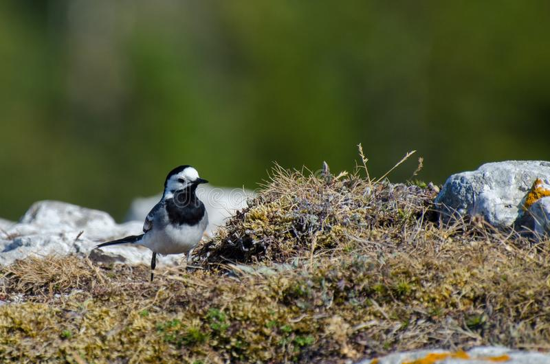 Motacilla alba - the white wagtail Gotland, Sweden, june 2018. The white wagtail Motacilla alba is a small passerine bird in the family Motacillidae, which also royalty free stock photos