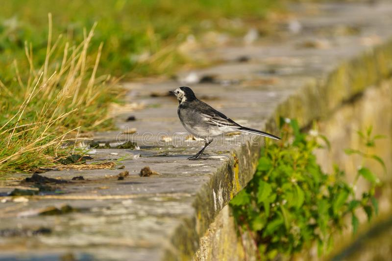 White Wagtail (Motacilla alba) , taken in the UK stock photo