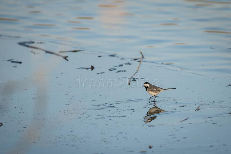 White Wagtail Motacilla alba walking through the frozen pond stock images