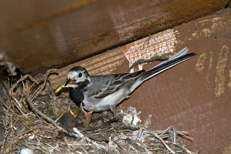 The white wagtail on the nest stock image