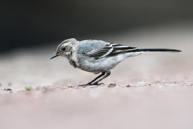 White Wagtail, Pied Wagtails, Wagtails, Motacilla alba. Birds - White Wagtail, Pied Wagtails, Wagtails, Motacilla alba stock photo
