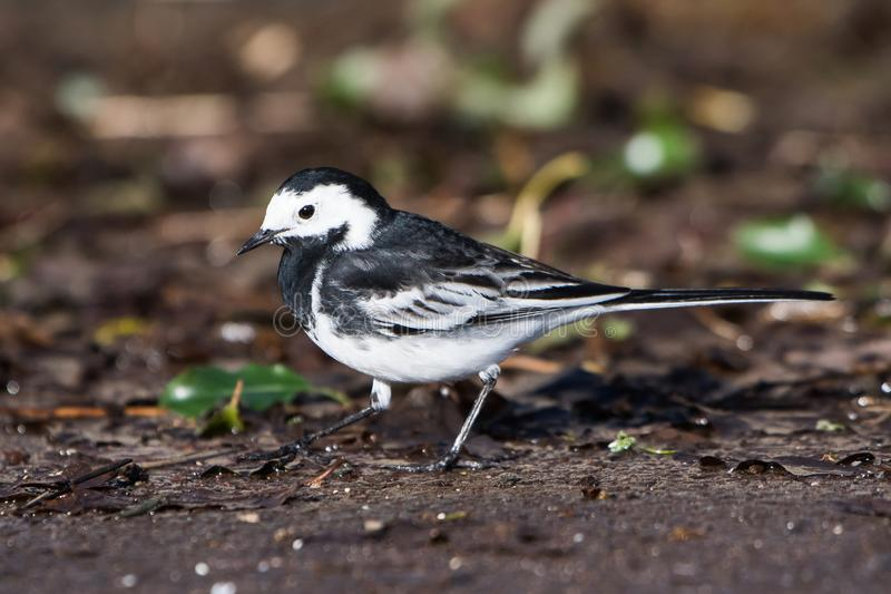 White Wagtail, Pied Wagtails, Wagtails, Motacilla alba. Birds - White Wagtail, Pied Wagtails, Wagtails, Motacilla alba stock images