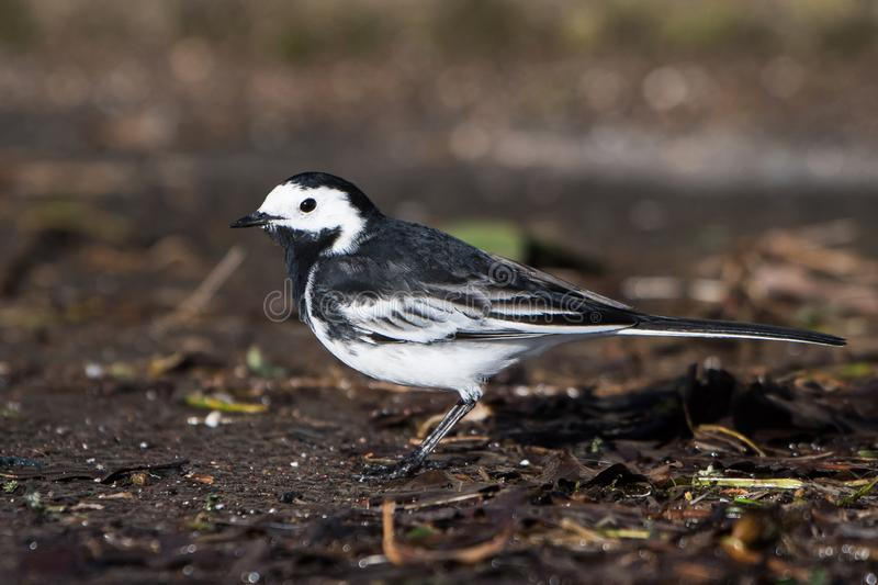 White Wagtail, Pied Wagtails, Wagtails, Motacilla alba. Birds - White Wagtail, Pied Wagtails, Wagtails, Motacilla alba stock image