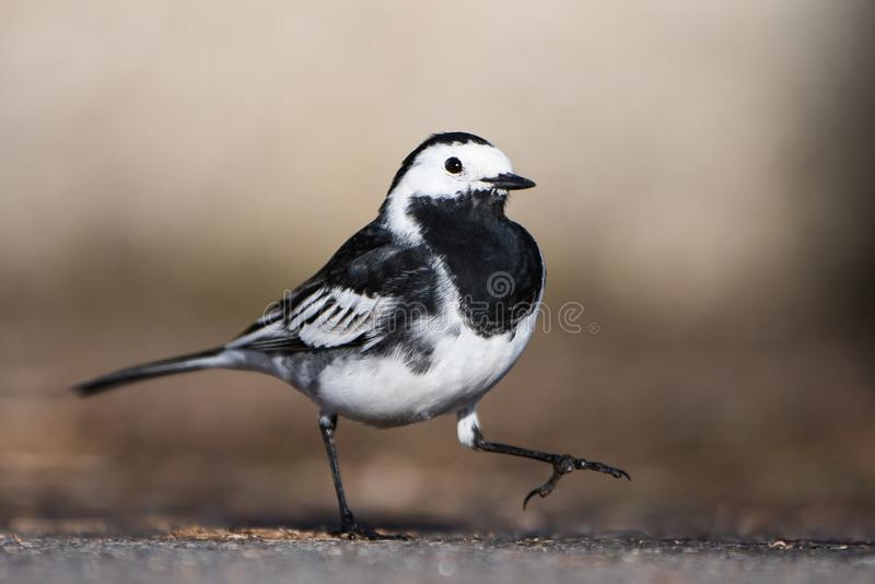 White Wagtail, Pied Wagtails, Wagtails, Motacilla alba. Birds - White Wagtail, Pied Wagtails, Wagtails, Motacilla alba royalty free stock photography