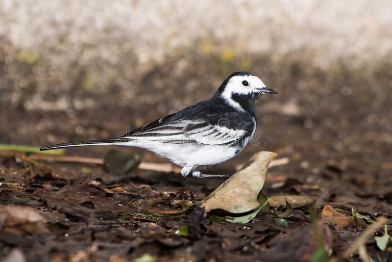 White Wagtail, Pied Wagtails, Wagtails, Motacilla alba. Birds - White Wagtail, Pied Wagtails, Wagtails, Motacilla alba royalty free stock photo