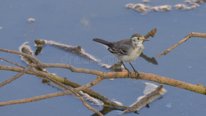 White wagtail posed on the branch. In the river of the swamp, in the summer royalty free stock images
