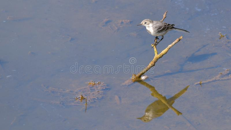 White wagtail posed on a branch. That emerges from the water of the lake stock photo