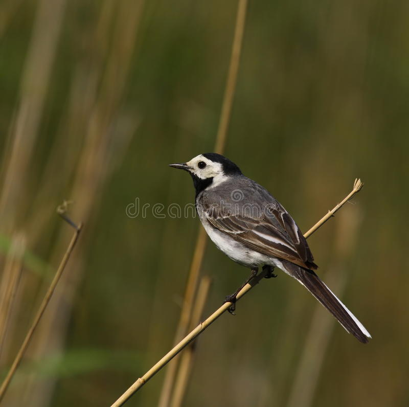 White wagtail on reed stock photo