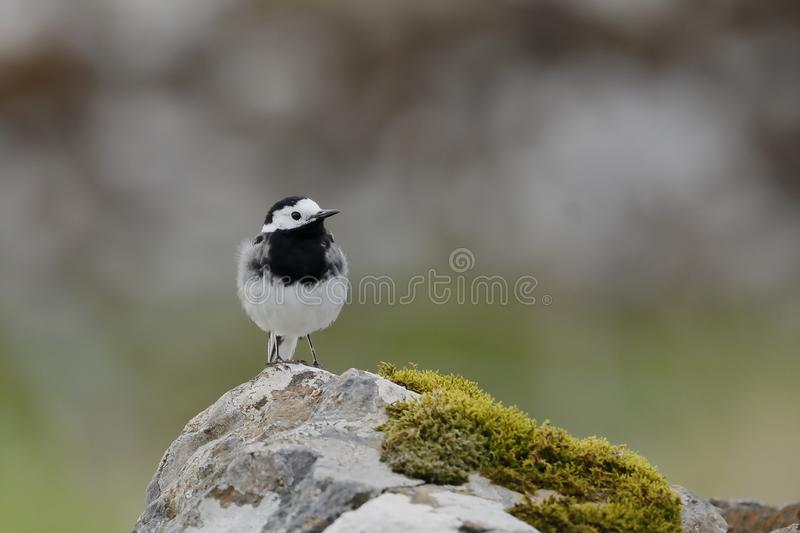 The white wagtail on a rock royalty free stock photos