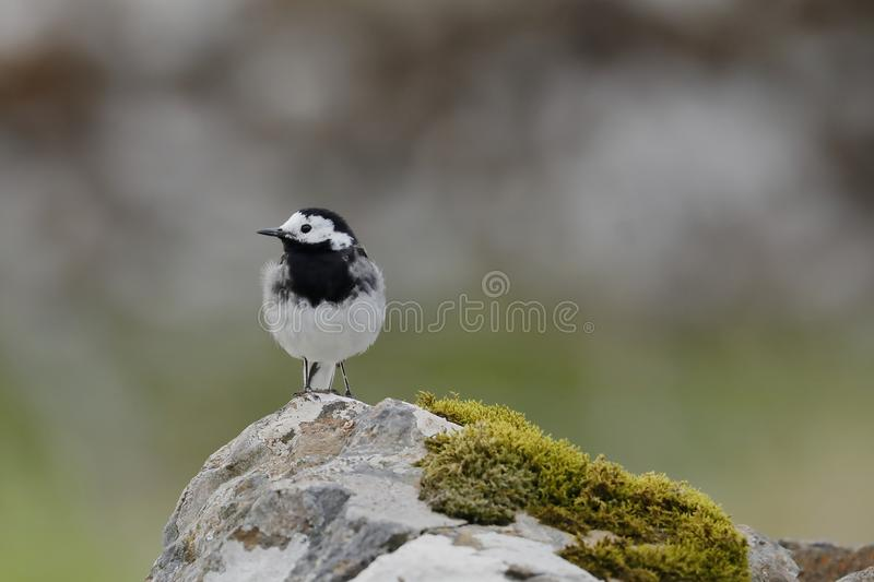 The white wagtail on a rock royalty free stock image