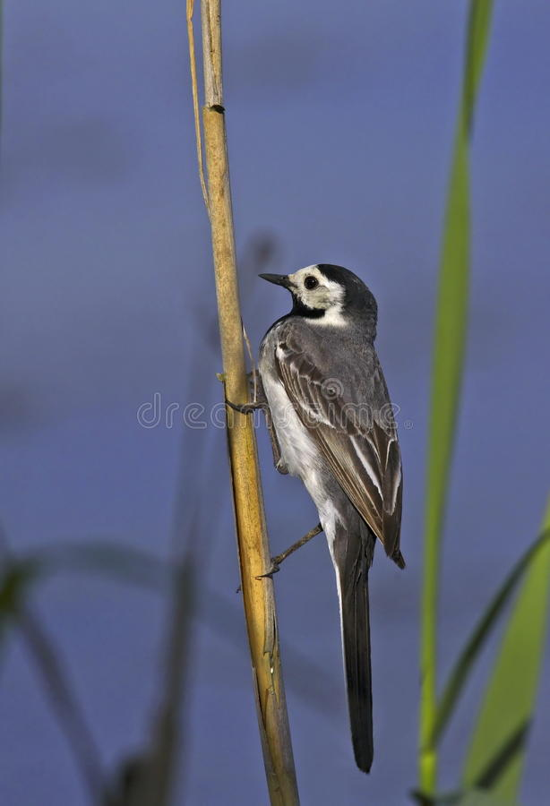 Download White wagtail on rush stock image. Image of nature, ground - 15407005