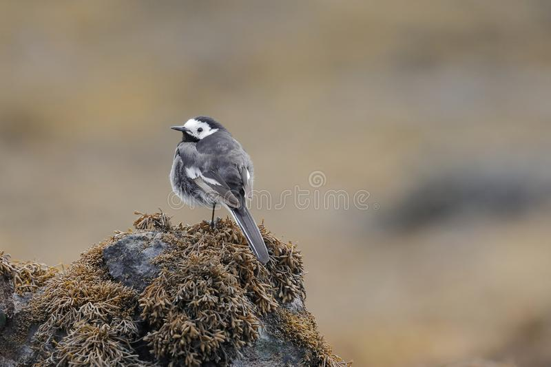 The white wagtail on a seaweed bed stock photos
