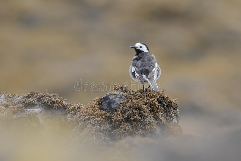 The white wagtail on a seaweed bed royalty free stock images