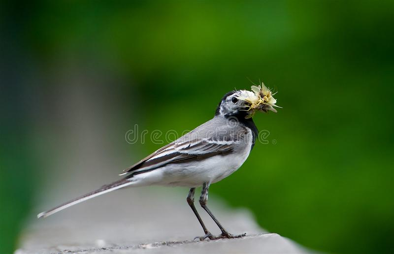White wagtail with food in the mouth on the west coast, Sweden stock photo