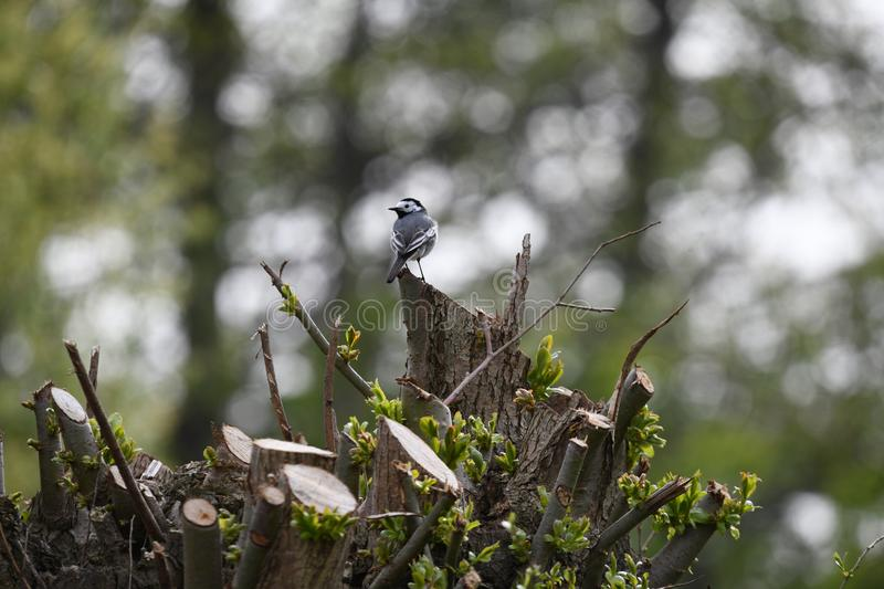 White wagtail sitting on a tree stock photos