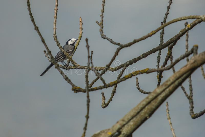 A white wagtail sitting on a twig. A white wagtail, grey, white and black colored slender bird sitting on a twig, blue background, sunny spring day royalty free stock photography