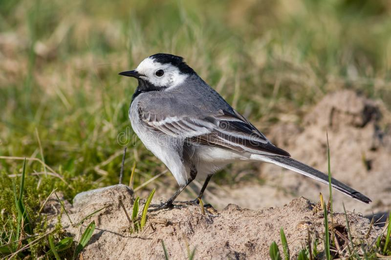 White wagtail standing on the sand with grass in the background. The color of the bird is black and white royalty free stock photo