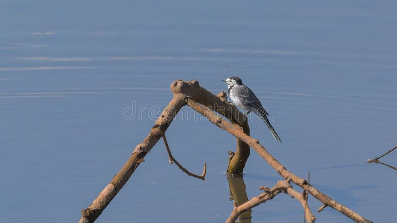 White wagtail standing on the twig. In the river water royalty free stock photography