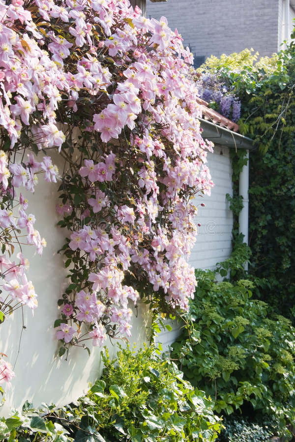 White wall with Clematis montana in spring royalty free stock photography