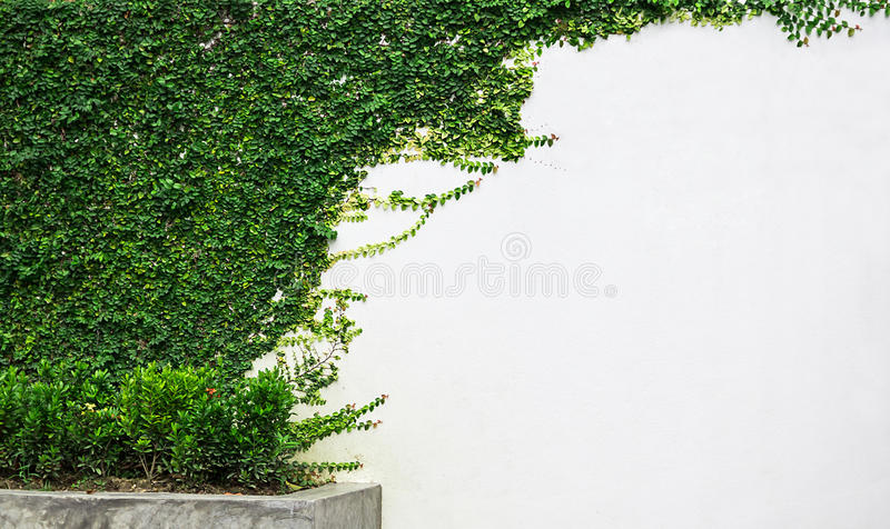 White wall green ivy plant stock photography